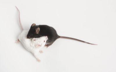 BIOCEV – Nursing / breeder of laboratory animals